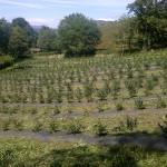 Plantación de arándanos